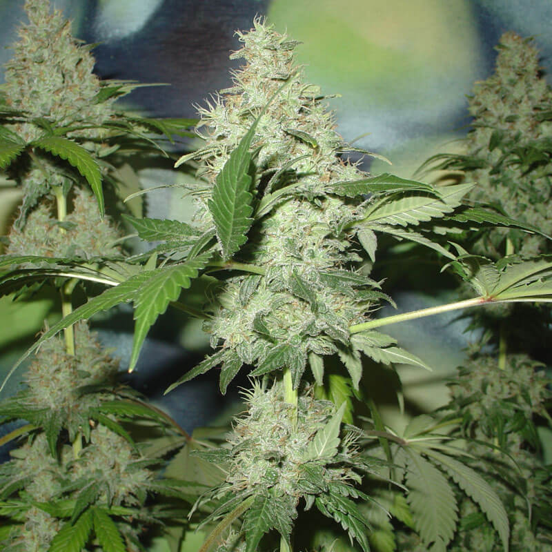 Northern light feminized plant